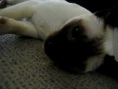 Toffee the very noisy & cute talking funny siamese cat