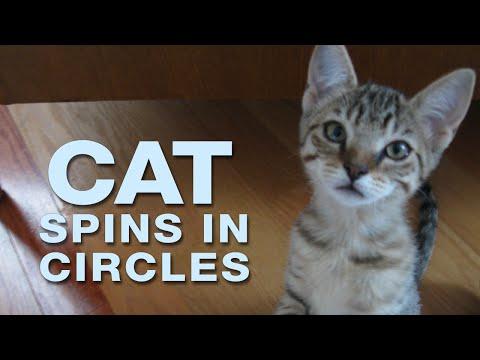 Funny Cat Video | Spinning & Winning