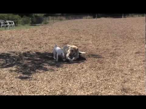 Funny Dog Park Video # 2 – Jake, JRT, HollywoodComedyDog
