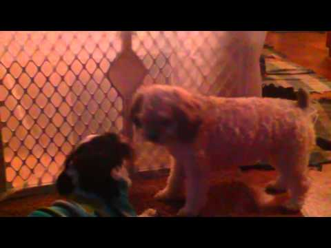FUNNY DOGS!  play and dance teddy bear shih tzu bichon mix puppies !