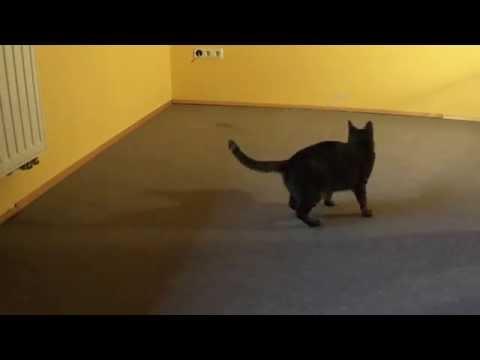 Funny Cat playing with Toy mouse (Jancsi macska játszik)