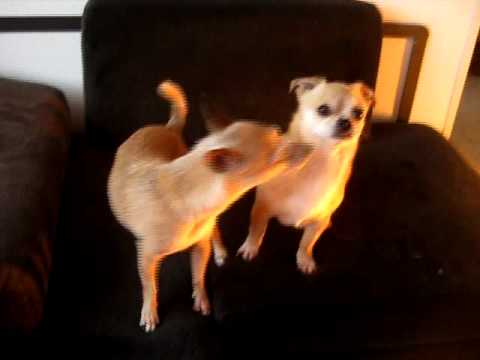 Funny Dog goes crazy!