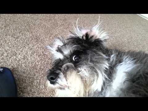 Funny dog video.  Oi Stop filming me..