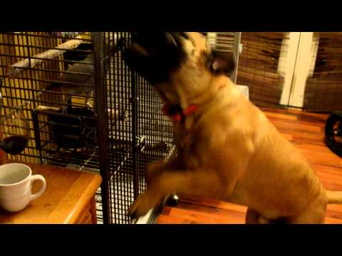 Funny Jumping Dog, My Bullmastiff going after my Parrot