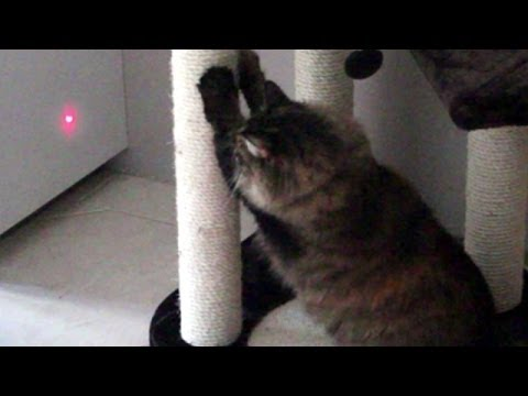 Cat vs Laser Pointer. Cassie's Encounter With a Laser Pointer. Funny Cat.