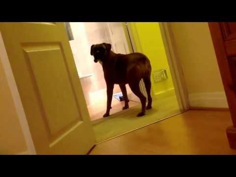 Funny boxer dog Megan