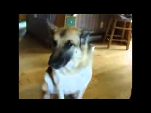Funny German Shepherd Dog Talking