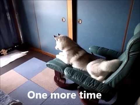 Funny dog, Siberian Husky Hana III  11月12日の変なはなちゃん