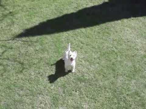 Westie Idefix playing with big fitness ball Funny dog!