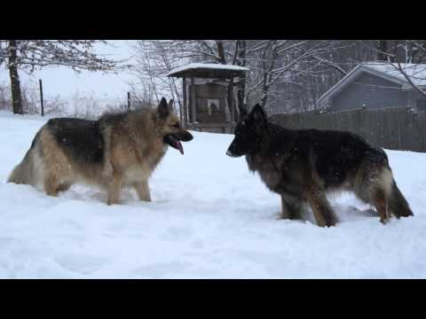 Funny! Shepherd dogs playing in the snow!