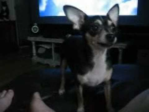 Funny Chihuahua dogs Nemo and Gizmo battle over a toy
