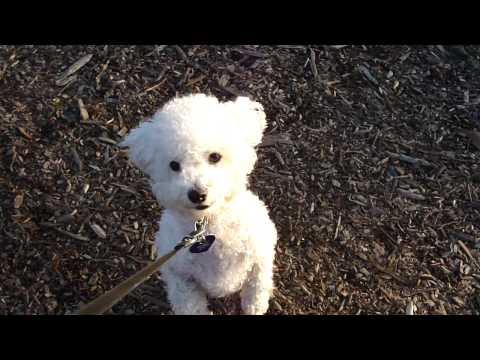 A Bichon Frise and His Ball  – Cute Funny Puppy Dog