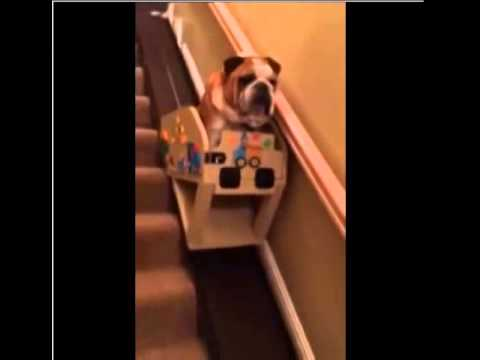 Funny Bulldog and His Custom Stair Lift