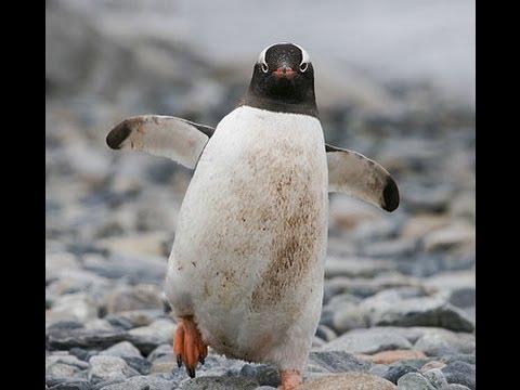 Funny Video Animals, The Penguin Attack! Very Funny Dont Miss it _ El Ataque del Pingüino.