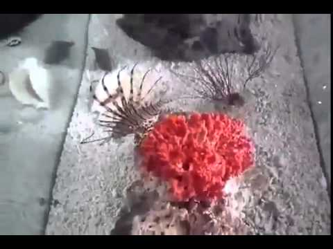 Lion Fish on the Tank ~ Best Funny Animals 2014