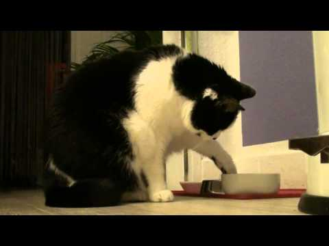 Nelly the funny Cow Cat, is eating with her paws