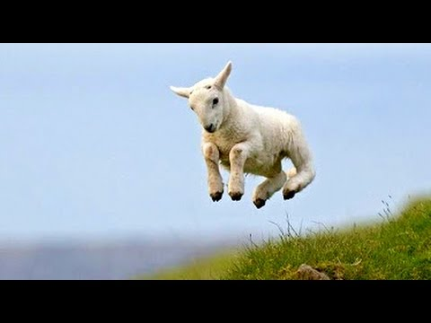 So Cute Jumping Baby Goat  | Funny Animals