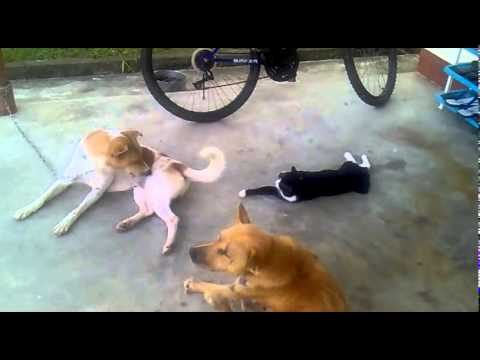 Funny cat playing with Fierce dog tail