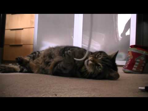 My funny cat playing with string…