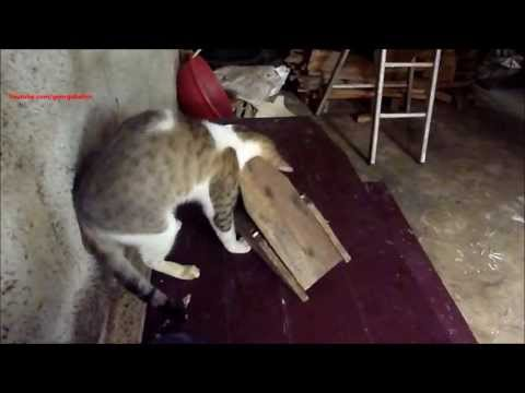 Funny cat fail – Desperate try to catch a mouse !