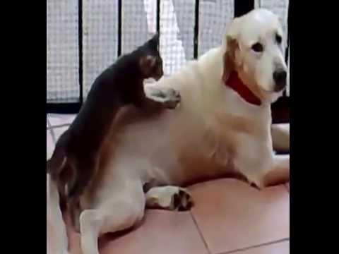 Kot masuje psa – śmieszne – Funny cat massage