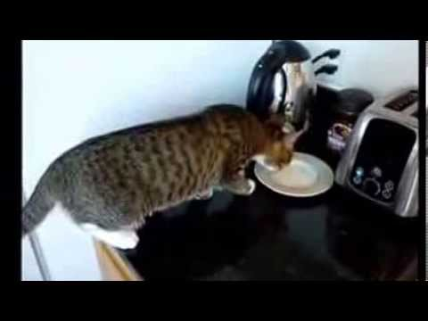 هبال لمشاش funny cat's