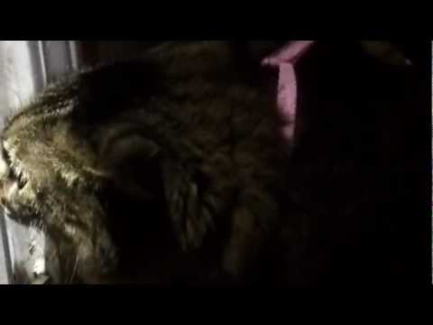 funny cat spazzing out and making lots of noise