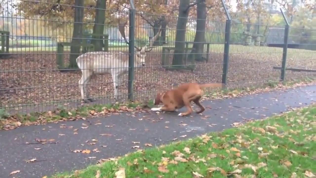 When Crazy Animals Attack Boxer dog attacks rabid deer behind fence ~ Best Funny Animals 2014